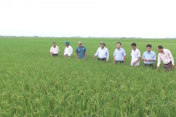 Quảng Trị: Lãnh đạo huyện Triệu Phong thăm đồng đánh giá năng suất lúa vụ đông xuân 2020 - 2021