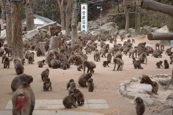 Cách người Nhật sống chung với hơn 1.500 con khỉ hoang dã