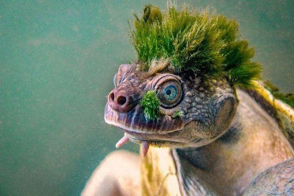 Loài rùa có bộ 'tóc xanh' chất chơi nhất thế giới động vật
