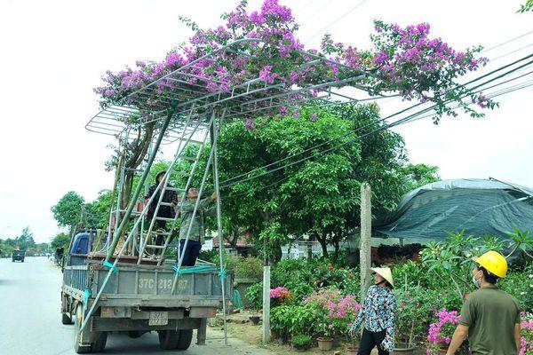 Cuốn hút hoa giấy 'leo giàn' khoe sắc ở các nhà vườn Nghệ An