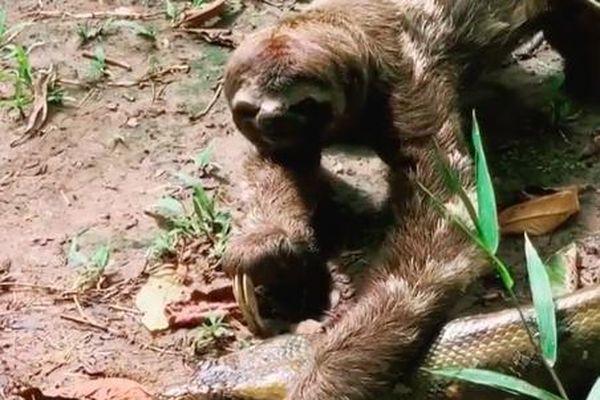 Quá lười để phải sợ: Bị trăn Anaconda khổng lồ ngáng đường, hành động của con lười khiến kẻ săn mồi phải 'sững cả người'