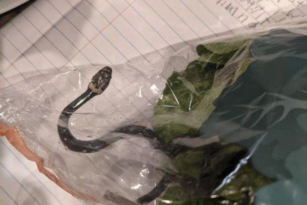 Hoảng hồn thấy rắn cực độc trong gói xà lách mua ở siêu thị