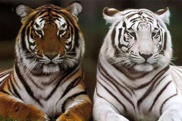 1001 thắc mắc: Loài hổ nào to nhất thế giới?
