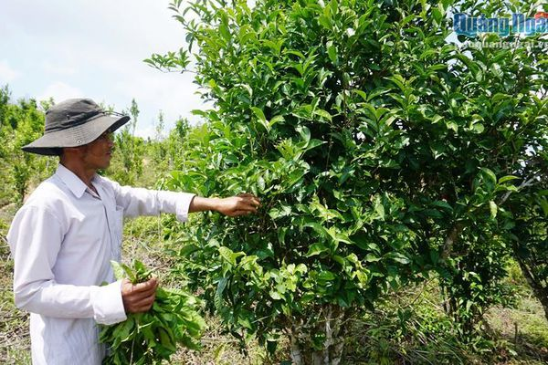 Phát triển rừng chè trăm tuổi trên dãy Cà Đam gắn với du lịch
