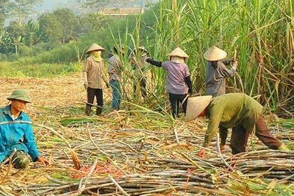 Gỡ khó cho ngành mía đường