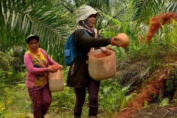 Indonesia đánh đổi gì khi nới lỏng các quy tắc trồng cọ dầu?