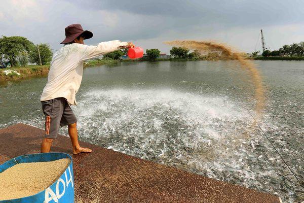 Nông dân nếm 'trái đắng' do đua nhau nuôi cá tra giống tự phát