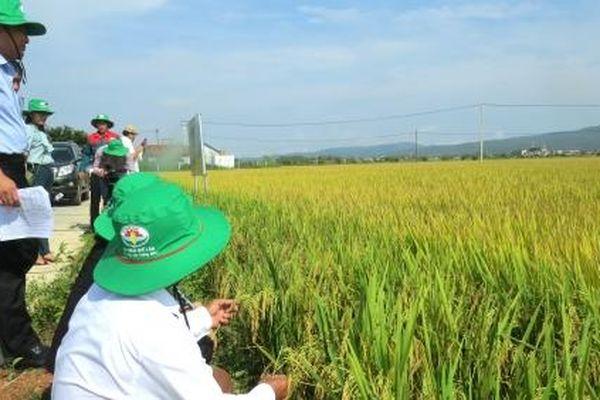 Sản xuất lúa theo hướng hữu cơ Quế Lâm
