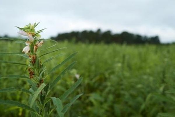 Vừng trở thành cây trồng thay thế mới hấp dẫn tại Hoa Kỳ