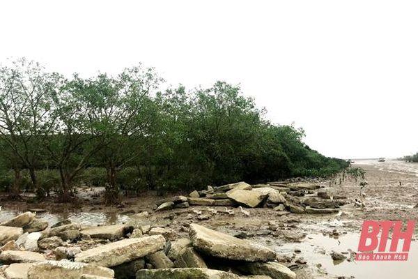 Thị xã Nghi Sơn thực hiện các giải pháp bảo vệ, phát triển rừng ngập mặn