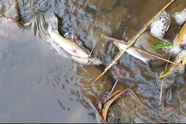 Bất thường cá chết hàng loạt trên suối