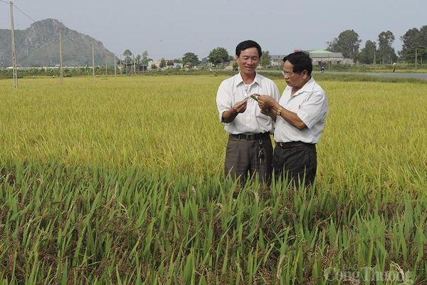 Người cựu binh và giống lúa thuần Việt