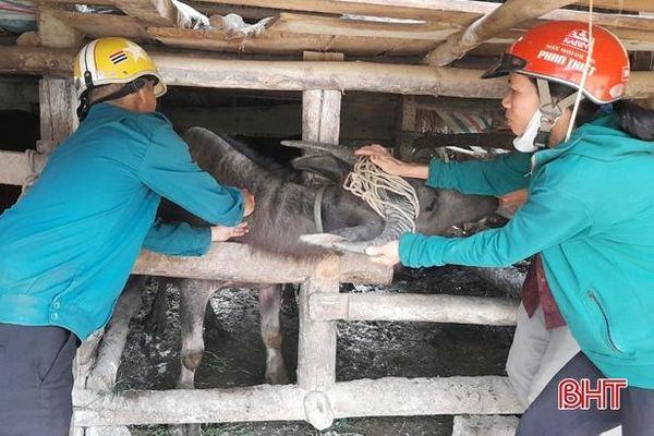 Gần 10 nghìn con trâu, bò ở Vũ Quang được tiêm vắc-xin viêm da nổi cục