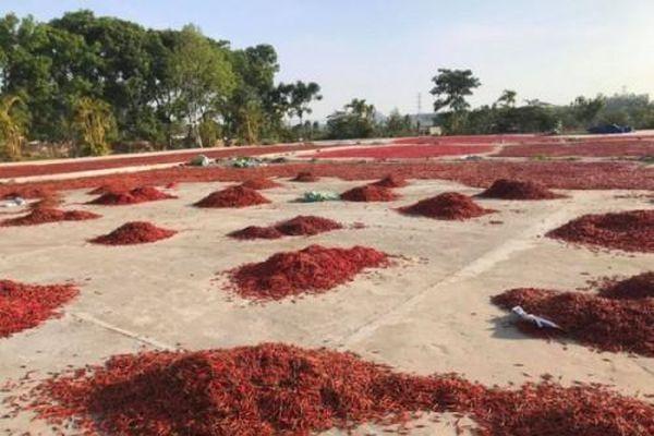 Giá ớt giảm gần 40 lần chỉ trong vài tháng, nông dân trắng tay dù năng suất tăng mạnh