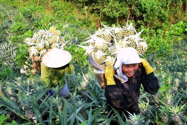 Nghệ An: Dứa được mùa, giá cao gần gấp đôi năm trước