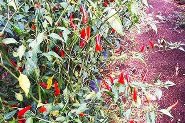 Bình Định: Ớt rớt giá, nông dân bỏ rụng