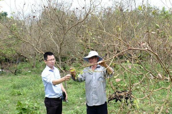 Nhiều vườn cây bị bọ cánh cứng tấn công ở Bình Phước