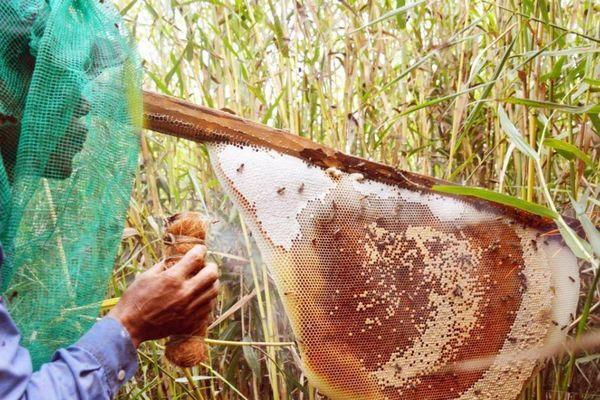 Trải nghiệm độc đáo lội rừng ăn ong lấy mật ở rừng tràm U Minh Hạ