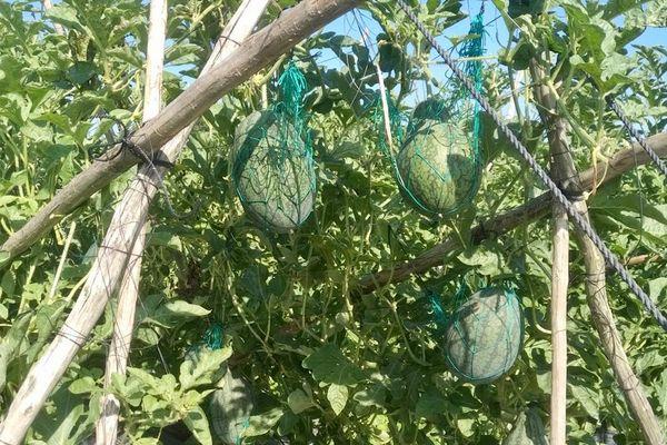 Hiệu quả mô hình trồng dưa hấu trên giàn