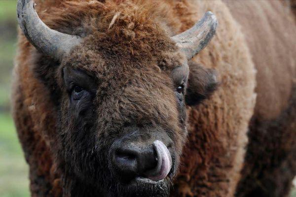 Hơn 45.000 người tranh suất giết bò rừng ở Mỹ