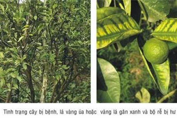 Phòng, trừ sâu bệnh hại trên cây có múi