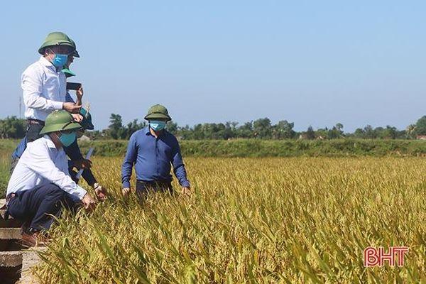Những cánh đồng mẫu ở Cẩm Xuyên cho năng suất 70 tạ/ha