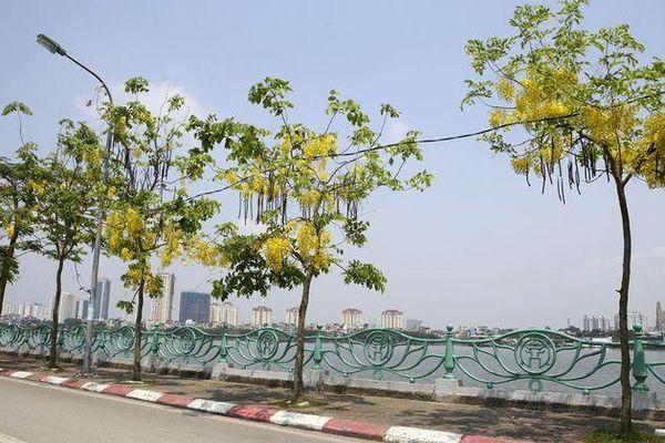 Muồng hoàng yến nở vàng rực khắp đường phố Hà Nội