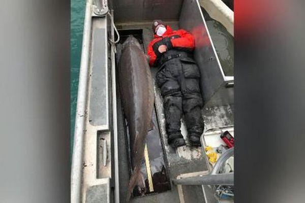 Bắt được cá tầm100 năm tuổi, dài hai mét nặng một tạ