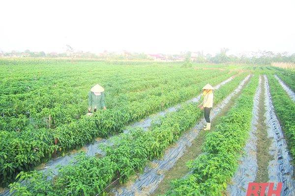 Huyện Hậu Lộc phát triển nông nghiệp theo hướng sản xuất hàng hóa chất lượng, hiệu quả bền vững