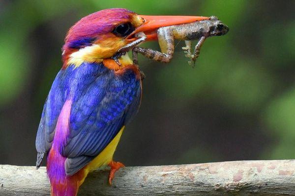 Soi bộ cánh cực đẹp của các loài chim bói cá Việt Nam