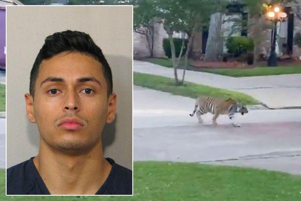 Nghi phạm giết người bỏ trốn cùng con hổ Bengal