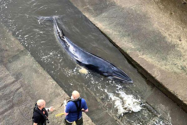 Giải cứu cá voi mắc cạn ở sông Thames