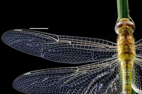 Loài côn trùng nặng chưa tới 1gram nhưng bay 6400km không cần nghỉ
