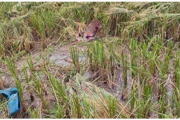 Phú Thọ: Kéo lúa chạy mưa, một phụ nữ bị sét đánh tử vong