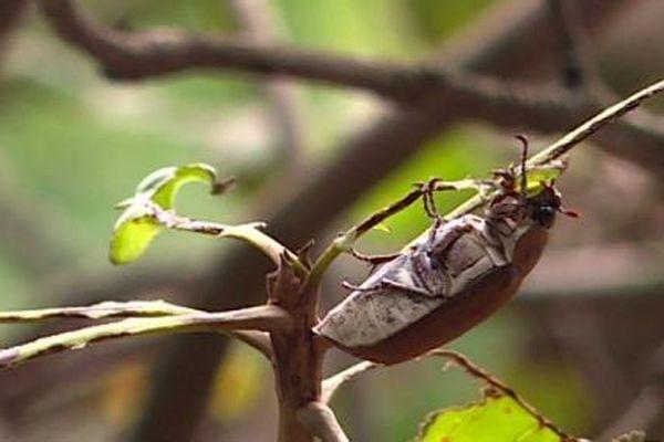 Hướng dẫn phòng trừ bọ cánh cứng hại cây trồng tại Bình Phước
