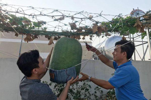 Bí đao 'khổng lồ' nặng hơn 34 kg trên vườn sân thượng Sài Gòn