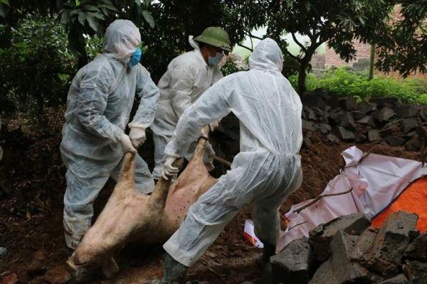 Quảng Ninh: 2 địa phương xuất hiện trở lại bệnh dịch tả lợn Châu Phi