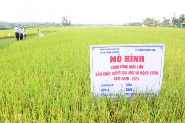 Trồng lúa cánh đồng lớn, giảm chi phí 1,1 triệu đồng/ha