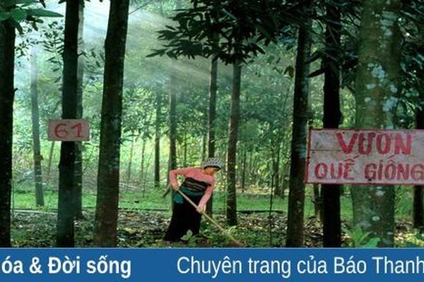 Huyện Thường Xuân có 10 xã khôi phục giống Quế Ngọc