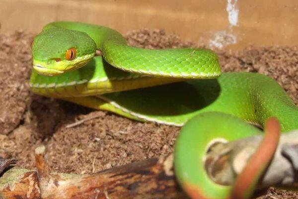 Bé trai ở Trà Vinh bị rắn lục đuôi đỏ cắn