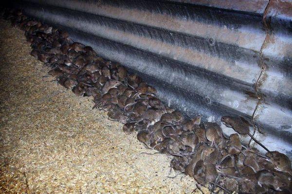 Người dân Australia đầu hàng trước dịch chuột kinh hoàng