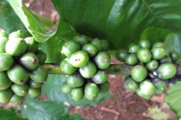 Giá cà phê hôm nay 15/5: Giảm sâu thêm 600 - 700 đồng/kg