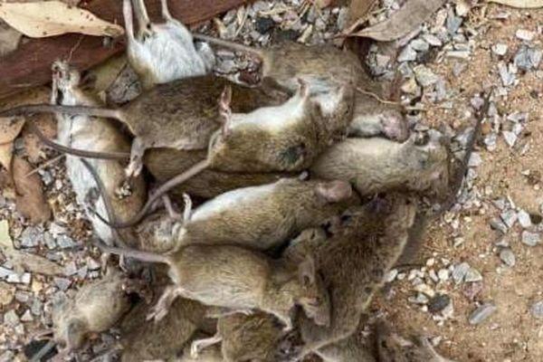 Australia tăng gấp đôi độc dược diệt chuột