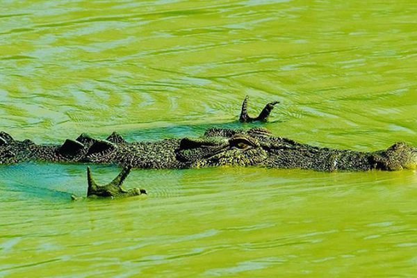 Hài hước khoảng khắc cá sấu 'xòe quạt' dưới nước để săn mồi