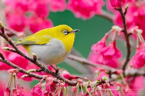 Cận cảnh các loài chim vành khuyên tuyệt đẹp của Việt Nam