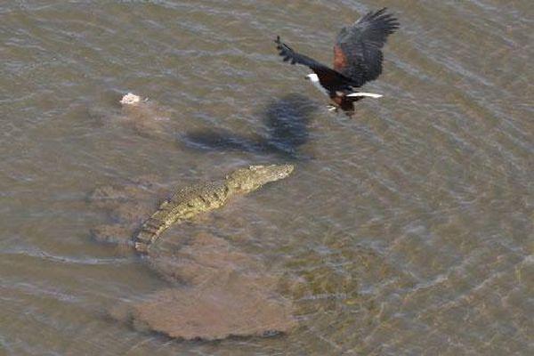 Cận cảnh chim ưng cướp mồi từ miệng cá sấu