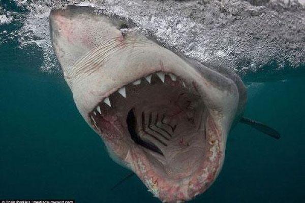 Cá mập trắng lớn 'khoe' nanh vuốt khi săn mồi