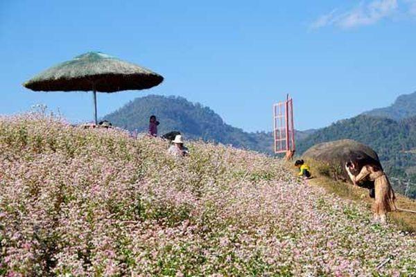 Check-in vùng hoa tam giác mạch rực rỡ khoe sắc trên lưng đèo Giang Ma, Lai Châu