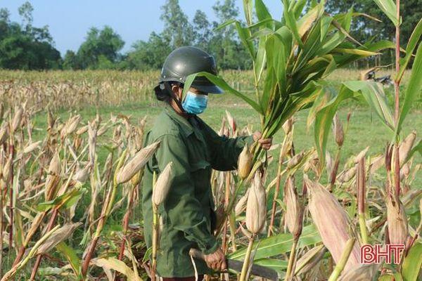 Ngô vụ xuân ở Vũ Quang cho năng suất cao, hơn 6 tấn/ha