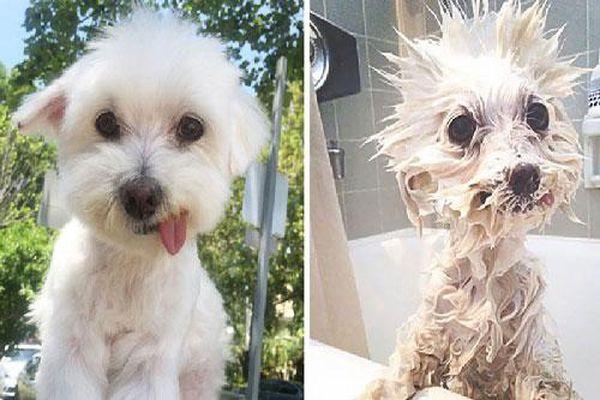 Ngỡ ngàng nhìn cún cưng xinh xắn biến thành 'quái thú' khi tắm